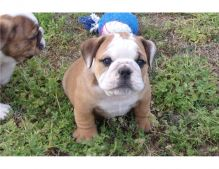 Super Adorable English Bulldog Puppies