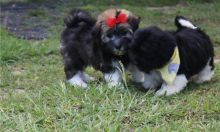 TWO AWESOME HAVANESE PUPPIES - mirabelwonder@gmail.com