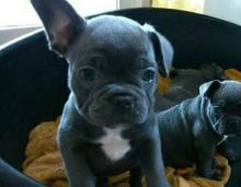 Adorable male and female french bullg dog puppies 11 weeks old (443) 267-7239