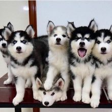 Home trained husky puppies (443) 267-7239