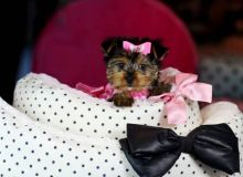 Playful yorkie puppies male and female (443) 267-7239