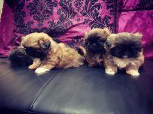 Excellent Pekingese Puppies For Sale