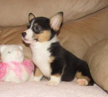 ..Well Trained Welsh Corgi Puppies..