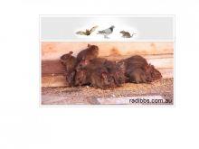 Durable strategies to destroy nuisances & rodents in Queensland Image eClassifieds4u 2