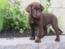 Chocolate Labrador Puppies For Adoption
