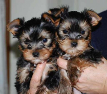 Excellent CKC Registered Yorkshire Terrier Puppies for Adoption