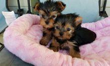 Excellent CKC Registered Yorkshire Terrier Puppies for Adoption