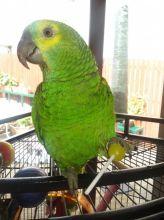gogeous amazon parrot for sale
