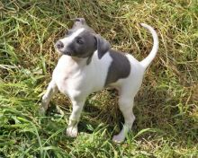 Italian Greyhound Puppies For Adoption