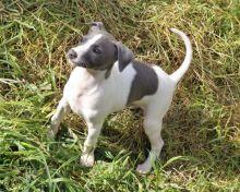 Italian Greyhound Puppies For Adoption Image eClassifieds4U