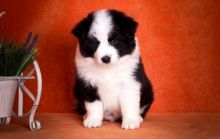 Border Collie Puppies For Adoption Image eClassifieds4U