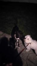 Maltese terrier Image eClassifieds4u 2