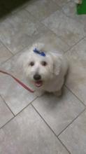 Maltese terrier Image eClassifieds4u 1