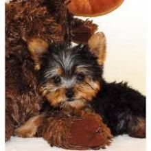 These beautiful puppies are yorkie puppies .