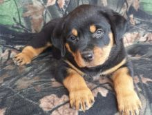 Extraordinary German Rottweiler puppies