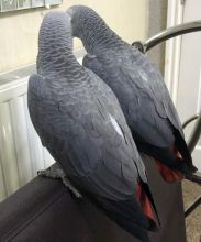 2 Hand Reared Female African Grey Babys read