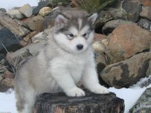 Reg Siberian Husky Puppies With Papers For adoption
