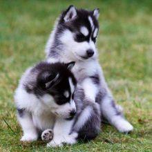 Sweet Siberian Husky Puppies