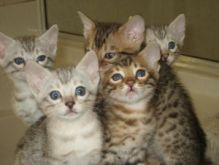 Healthy Bengal Kittens available..(612) 470-8177