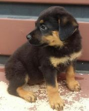 Cute Male/Female CKC Rottweiler puppies for FREE Adoption.
