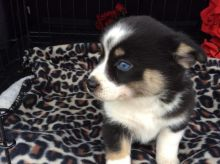 Very Healthy Male and Female Pomsky puppies looking for Adoption.
