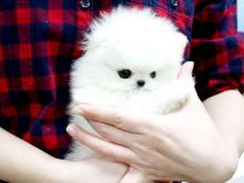 Male and Female Awesome T-Cup Pomeranian Puppies For Adoption Image eClassifieds4u 4