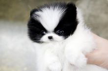 Male and Female Awesome T-Cup Pomeranian Puppies For Adoption Image eClassifieds4u 3