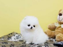 Male and Female Awesome T-Cup Pomeranian Puppies For Adoption Image eClassifieds4u 2