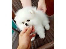Male and Female Awesome T-Cup Pomeranian Puppies For Adoption Image eClassifieds4u 1