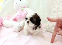 Affectionate and admirable Shih Tzu for re-homing