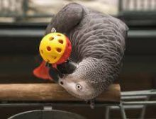 Tame and friendly African Grey Parrots available for new home