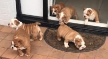 Gorgeous English Bulldog Puppies available Image eClassifieds4U
