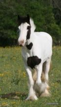 Mare & Gelding/Stallion Horse For Sale/Adoption 100% safe and bombproof family horse