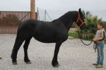 Cute and Well Trained Frisian Horse For Adoption