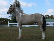 Gorgeous Gaited Buckskin Tobiano TWH Stallion Colt $3,500