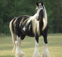 Gypsy Vanner Horse 4 Sale