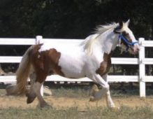 Gypsy Vanner Horse Brown Mare