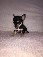 Oustanding Small Size Chihuahua Puppies