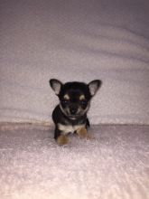 Re-homing Toy Size Male & Female Chihuahua Dog