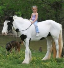 Reg. Gypsy Vanner, Mare for adoption klm
