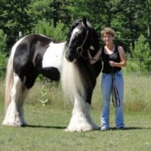 Well trained gypsy Male Horse for Sale
