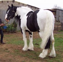 WHITE AND BLACK GYPSY VANNER HORSE FOR ADOPTION TO ANY HORSE LOVER