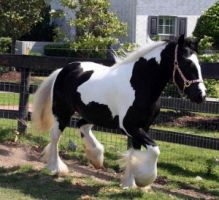 WHITE AND BLACK GYPSY VANNER HORSE FOR ADOPTION TO ANY HORSE LOVER gf