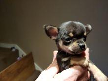 Chihuahua Puppies 10 weeks old Image eClassifieds4U