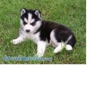 Cute Siberian husky puppy for adoption Text (708) 928-5512