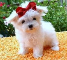 Awesome Male And Female Teacup Maltese Puppies Available (320) 297-4521