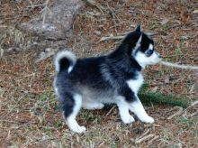 Healthy Pomsky Puppies Available
