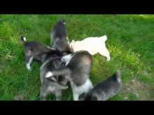Husky pups Image eClassifieds4U