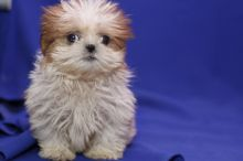 Lovely Shih Tzu puppies available