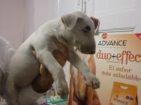 Beautiful Bull Terrier Puppies For adoption